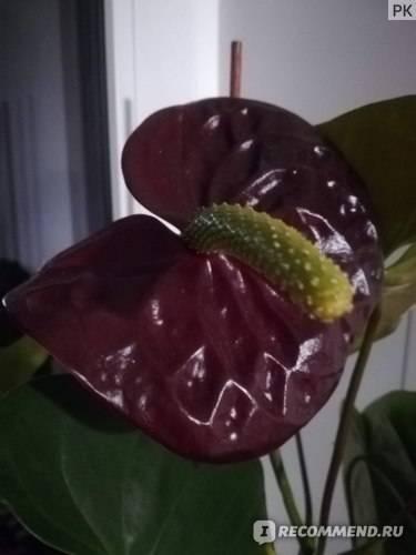 Описание и фото антуриума блэк квин. уход в домашних условиях и похожие растения