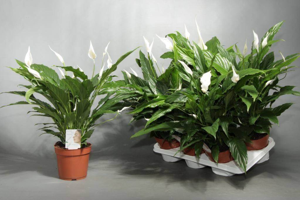 Спатифиллум Свит Чико — характеристики и похожие сорта