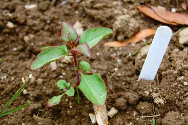 Цветок годеция: фото, описание, посадка и уход в открытом грунте