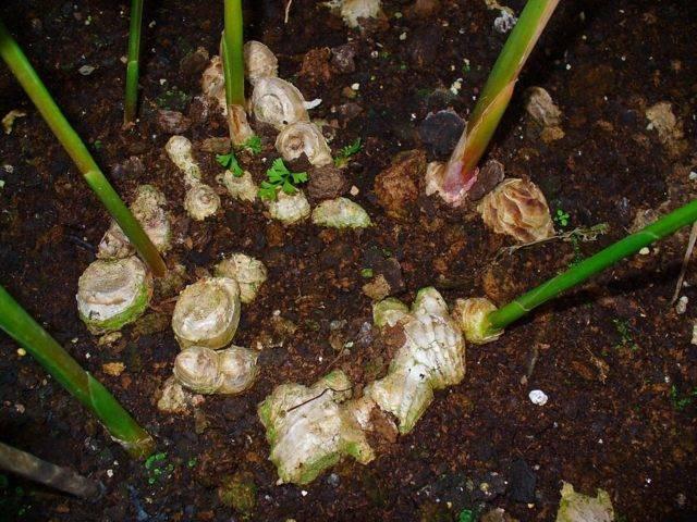 Как растет имбирь дома и на природе