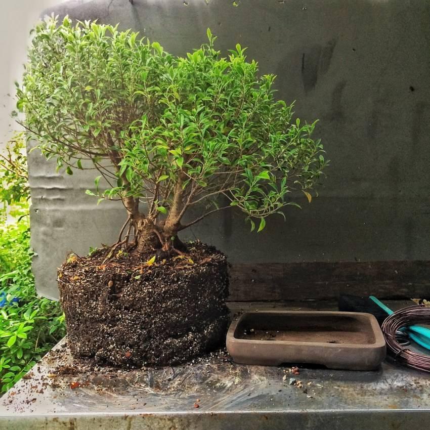 Как вырастить бонсай из сосны обыкновенной: выкопанной в лесу на дачном участке