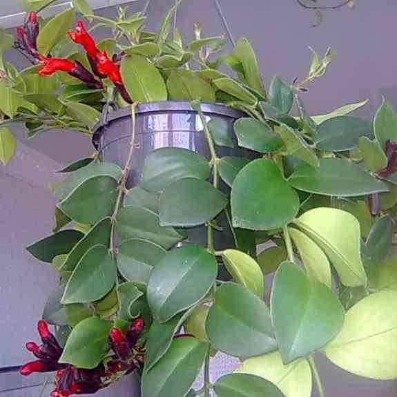Эсхинантус — потрясающая листва и цветение