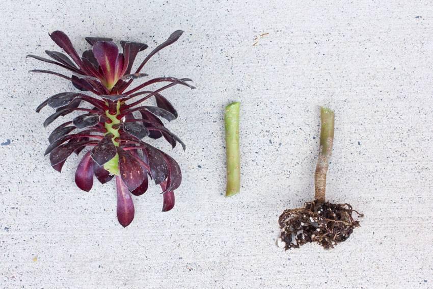 Эоуним нигрум, кристатный и другие разновидности: варианты ухода за цветком дома