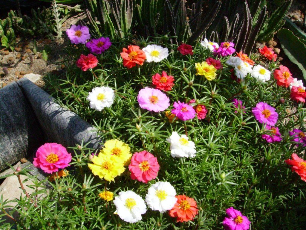 Портулак выращивание из семян: сроки и схема посева на рассаду, уход, пикировка, высадка
