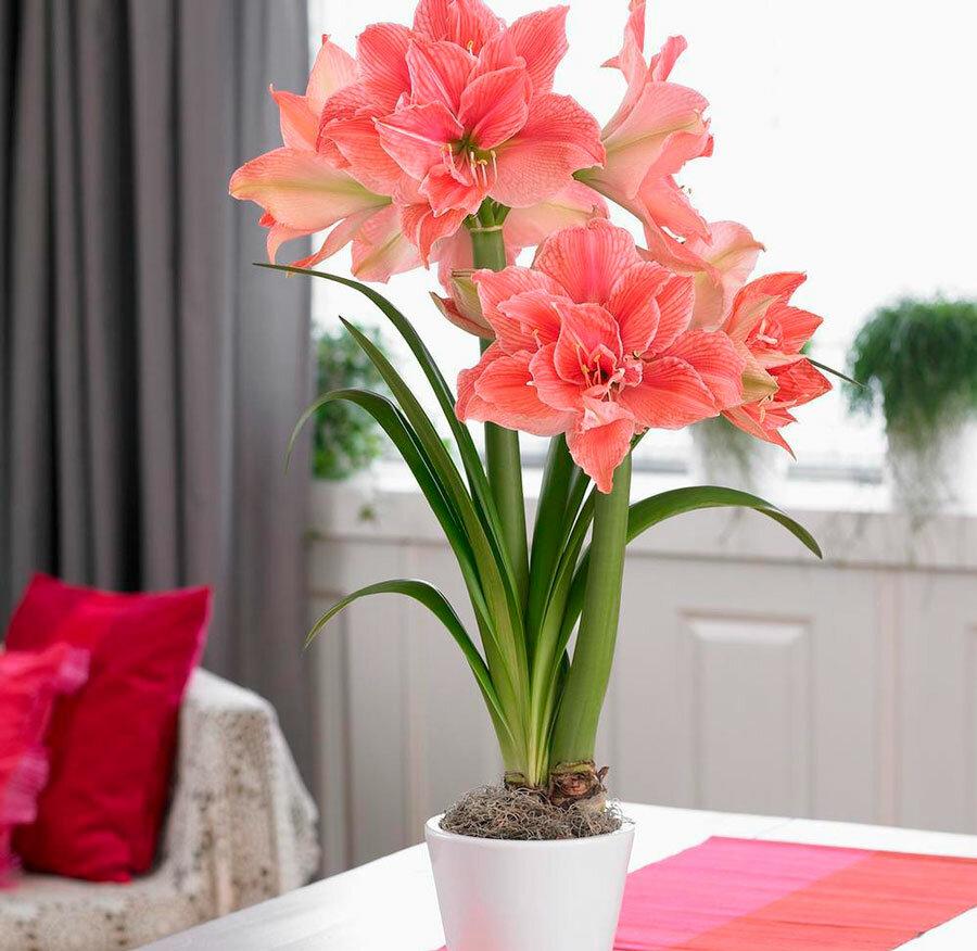 Правила ухода за амариллисом после цветения в домашних условиях