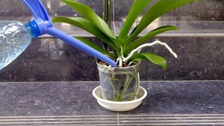 Чесночная вода для орхидей: почему так полезна эта подкормка, рецепты изготовления, а также готовые инструкции по правильному  проведению полива