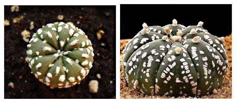 """Кактус """"астрофитум"""" (32 фото): виды """"козерогий"""" и """"мириостигма, """"орнатум"""" и """"астериас"""", выращивание из семян"""