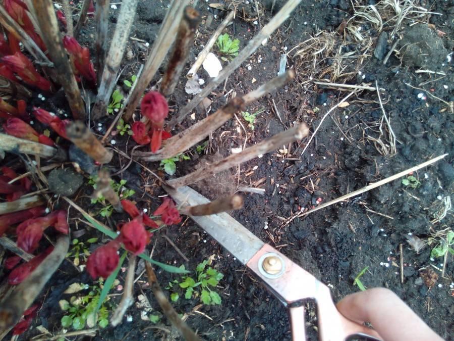 Обрезать ли пионы после цветения