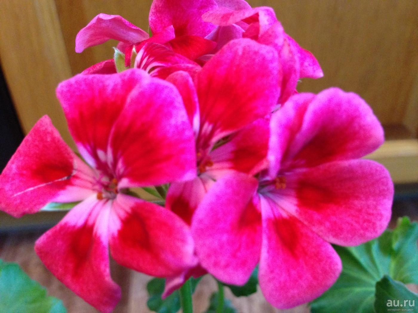 Пеларгония – описание, уход, выращивание и размножение