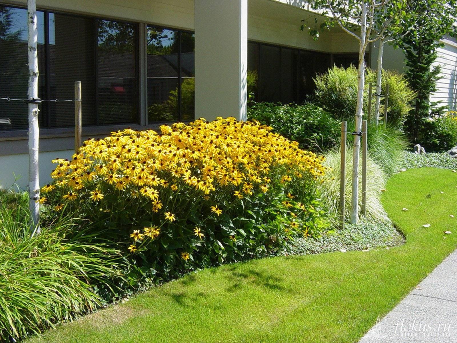 Цветы гелениум: посадка и уход