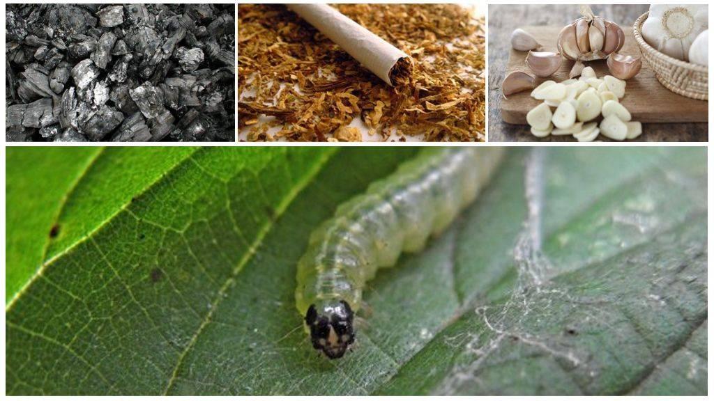 Чем обрабатывать розы, если их едят гусеницы, как бороться народными средствами