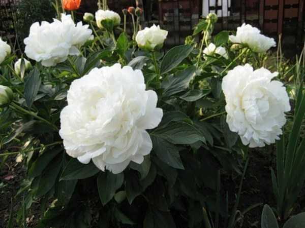 Все о пионе энн казенс: выращивание и характеристики сорта анн коузинс (кусинс)