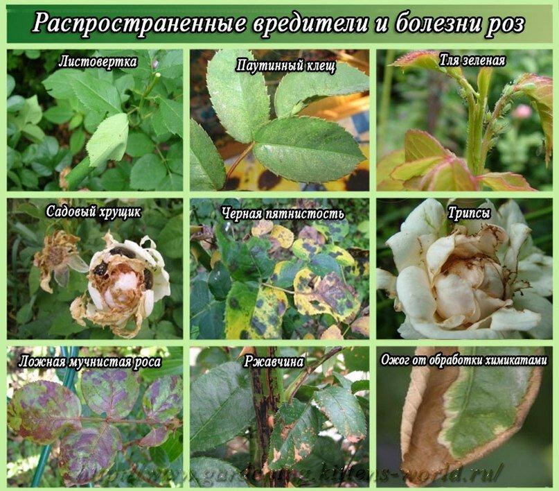 Болезни роз — лечение и борьба с вредителями