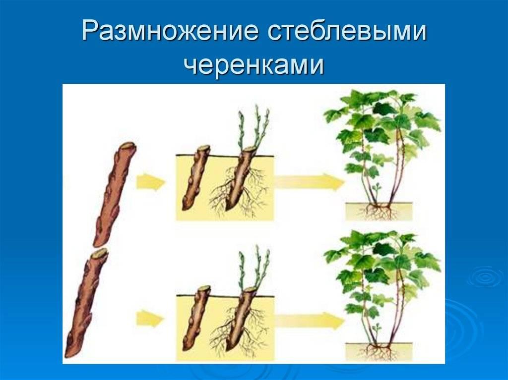 Выращиваем пионы - посадка и уход в открытом грунте