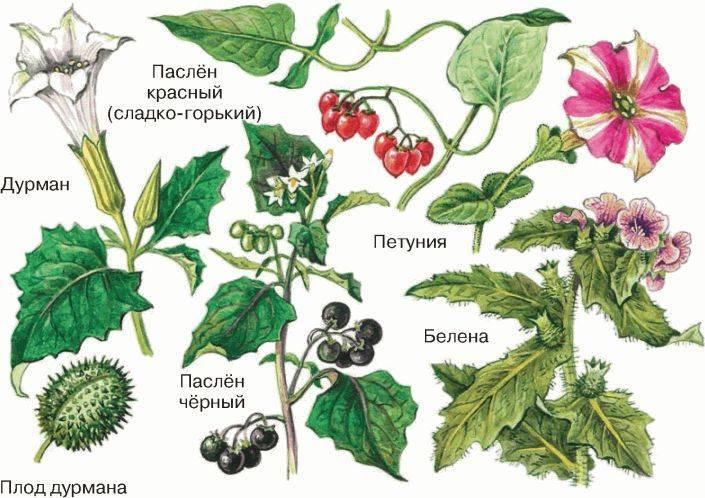 Семейство пасленовые: овощи. список, описание, характеристики. помидоры, картофель, баклажаны