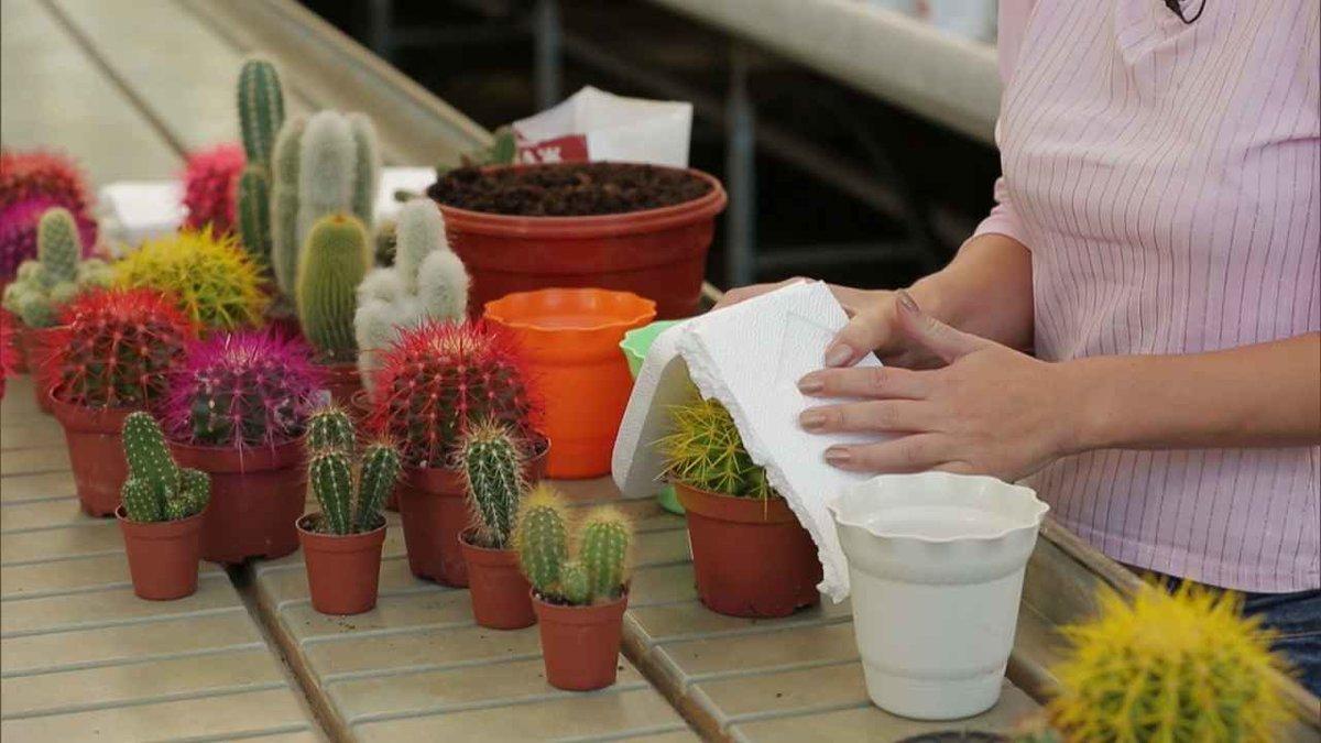 Опунция кактус: примеры по уходу и размножению растения