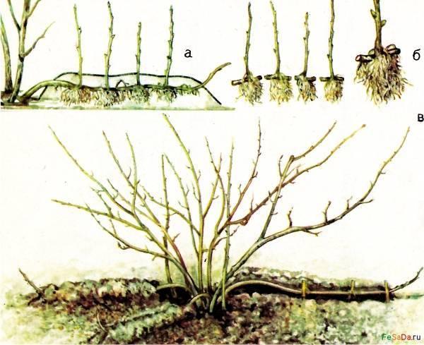 Размножение крыжовника черенками – способы и правила черенкования