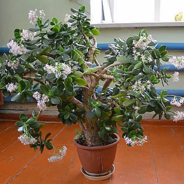 Толстянка или «денежное дерево»
