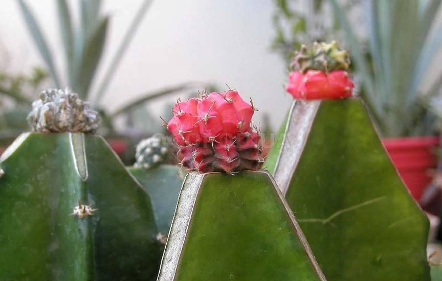Интересные примеры ухода в домашних условиях за кактусом маммиллярия