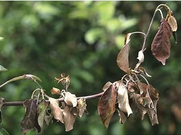 Почему у декабриста вянут и опадают листья — что делать