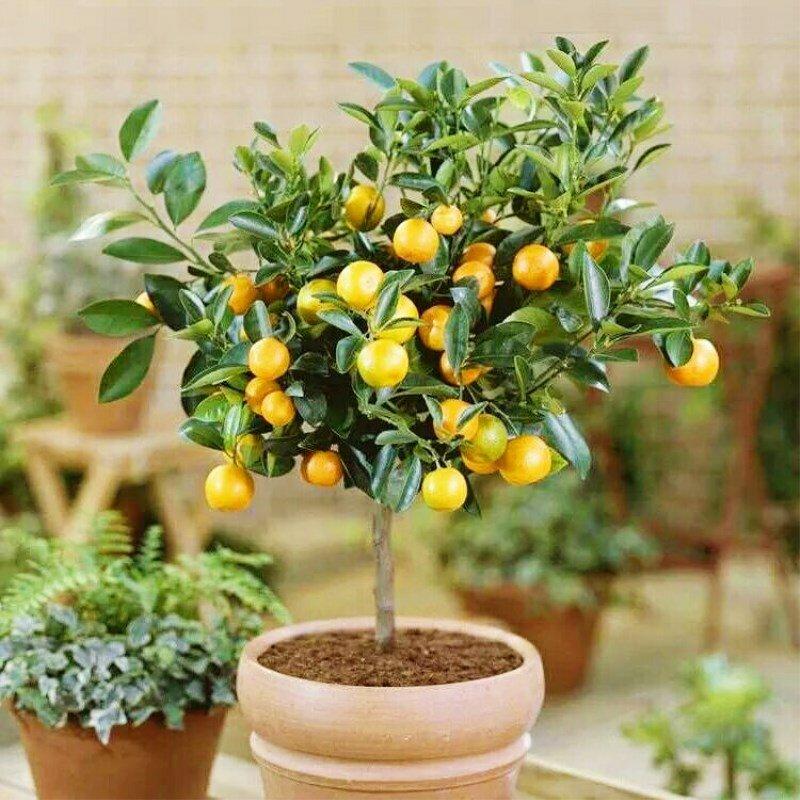 Как вырастить мандарин из косточки в домашних условиях: это надо знать