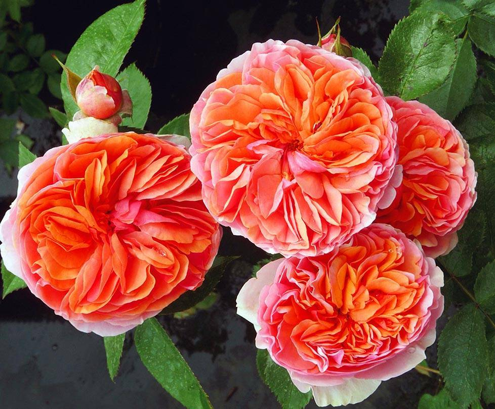 Роза «чиппендейл»: фото и описание сорта, отзывы