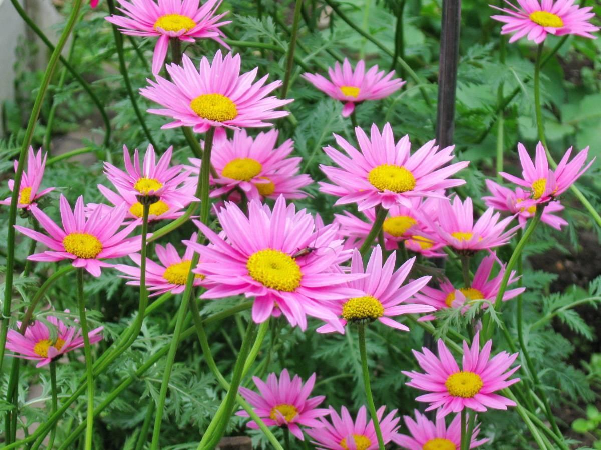 Персидская ромашка (пиретрум): посадка, выращивание и правильный уход за цветком