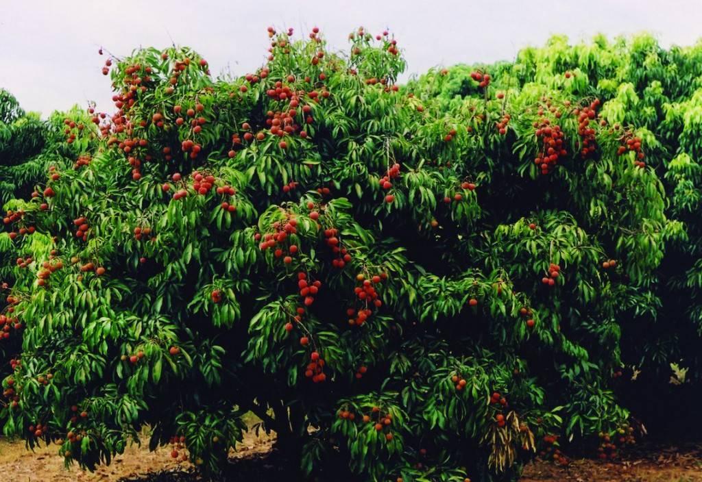 Как вырастить фрукт личи в горшке из косточки в домашних условиях: можно ли