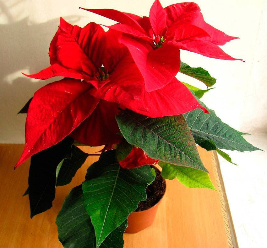 Рождественская звезда – цветок символизирующий праздник, как вырастить дома