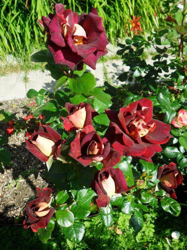 Роза Эдди Митчелл (Eddy Mitchell) — описание сорта