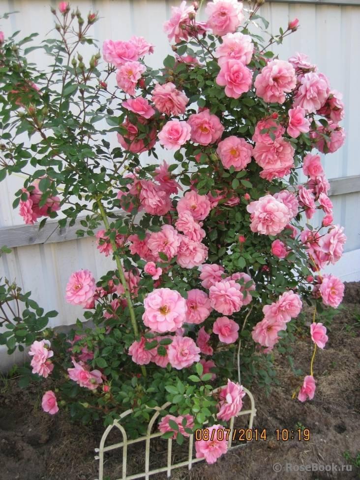 Роза парковая: описание, сорта, посадка, уход