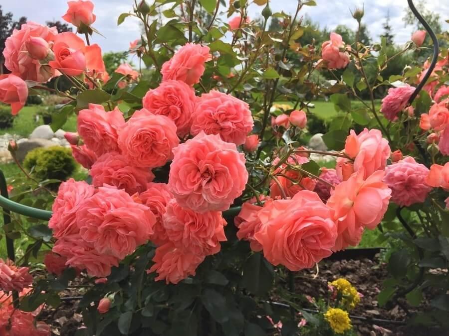 Роза «парад» (26 фото): описание плетистого сорта роз группы клайминг, уход за розой в горшке в домашних условиях