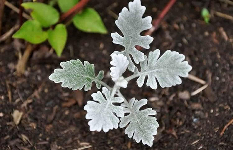 Серебристая красавица: выращиваем цинерарию дома и на даче