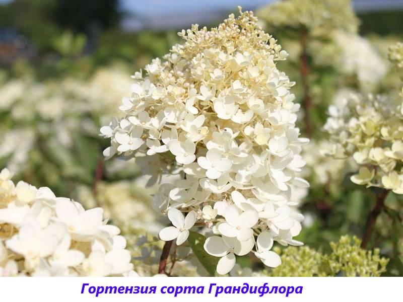 Гортензия метельчатая 'грандифлора' фото, описание, посадка, выращивание, уход