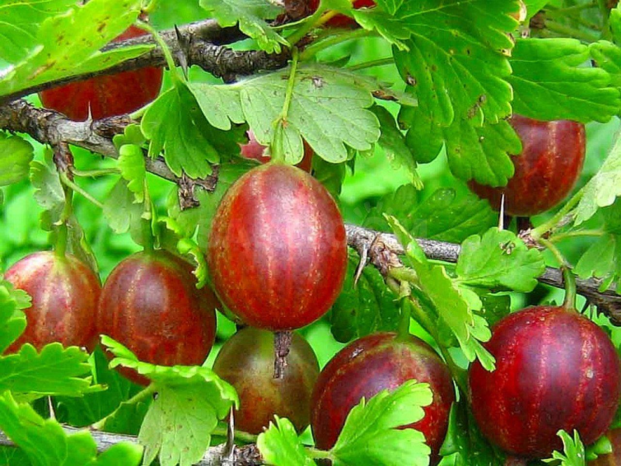 Крыжовник бесшипный — характеристики красных и черных сортов