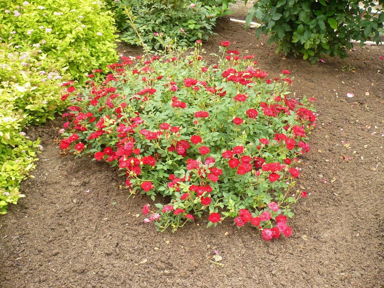 Особенности почвопокровных роз, как выращивать на своем участке