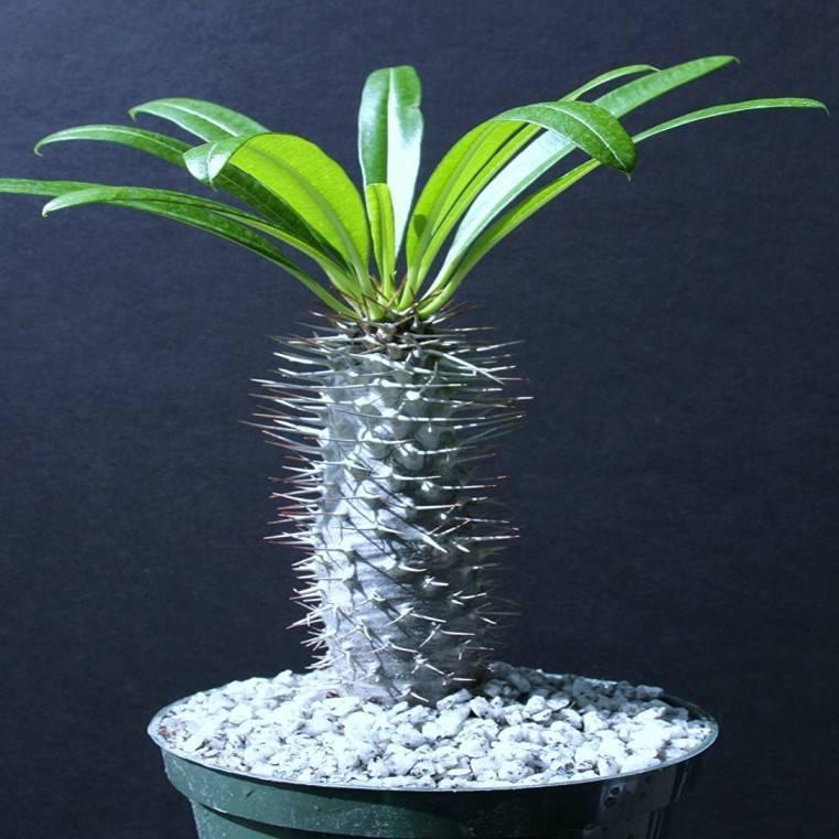 Выращивание пахиподиума ламера в домашних условиях: как размножается из семян
