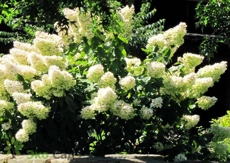 Гортензия метельчатая юник (unique): описание, посадка и уход, применение растения в дизайне сада, фото