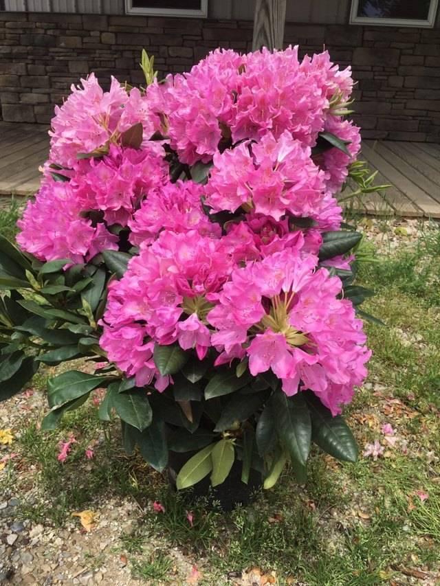 Цветок рододендрон
