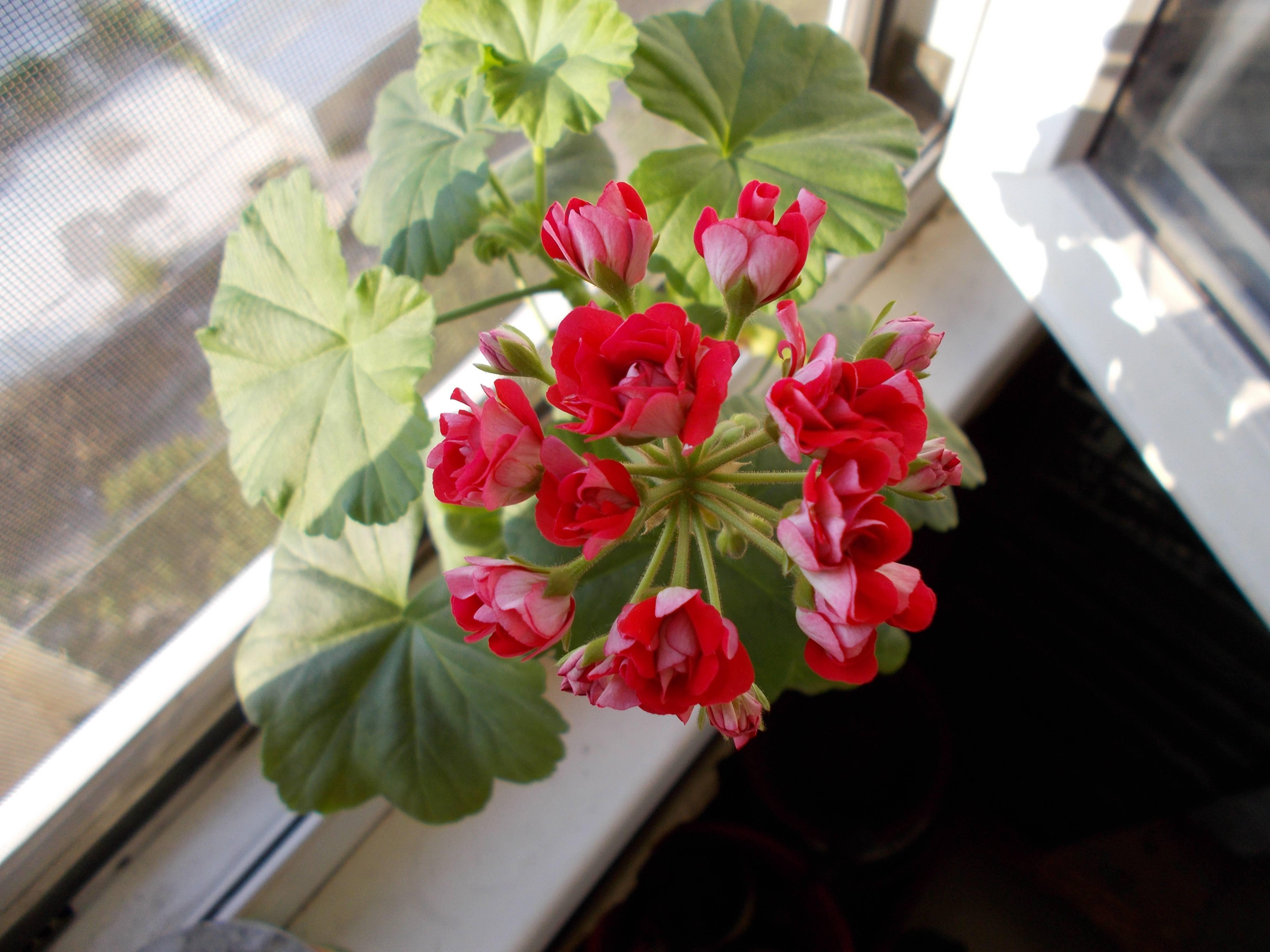 Особенности выращивания герани в горшке: как ухаживать в домашних условиях, чтобы цвела?