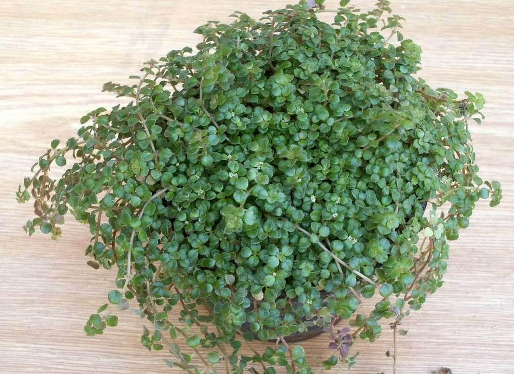 Пилея: фото цветов растения, а также подробное описание