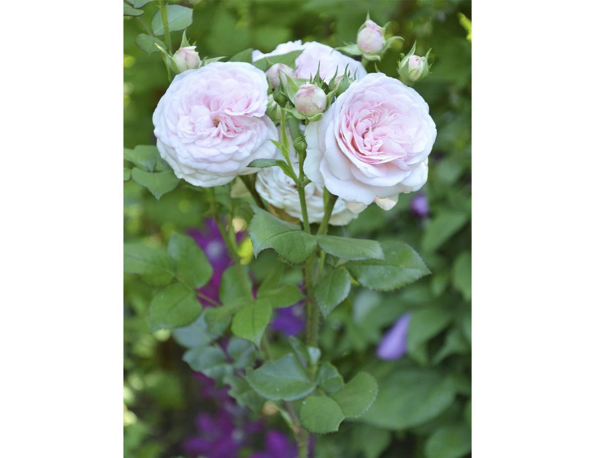 Роза флорибунда посадка и уход в открытом грунте