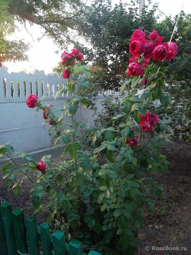 Роза эрик таберли: описание, выращивание и уход. советы по уходу за розами erik tabarly отзывы садоводов об успехах и неудачах выращивания сорта «эрик таберли» в разных климатических зонах