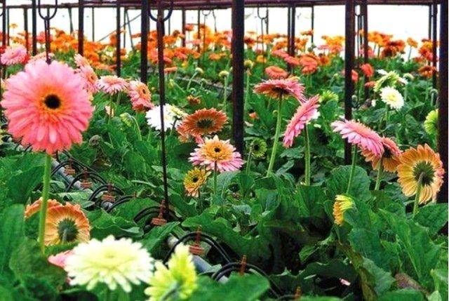 Нюансы посадки и ухода за садовыми герберами
