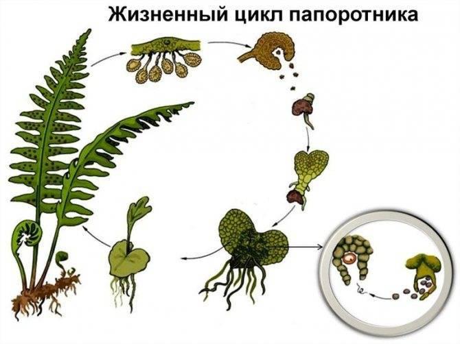 Виды папоротников и их классификация