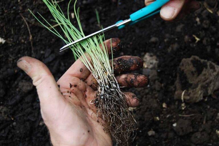 Посадка семян цинии и уход за рассадой в открытом грунте