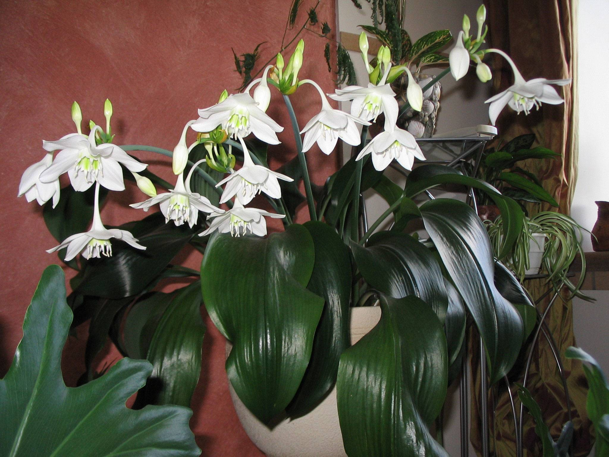 Уход за эухарисом в домашних условиях: почему не цветет амазонская лилия
