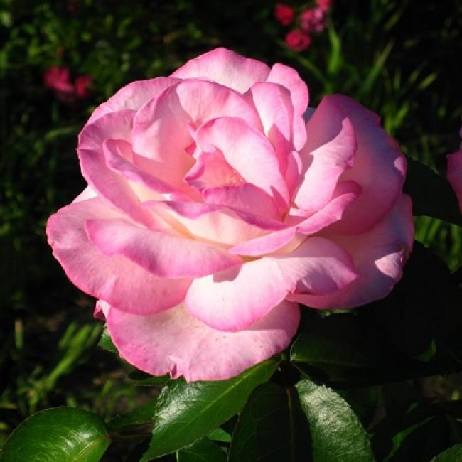Чайно-гибридный сорт розы принцесса монако из семейства флорибунда, как ухаживать