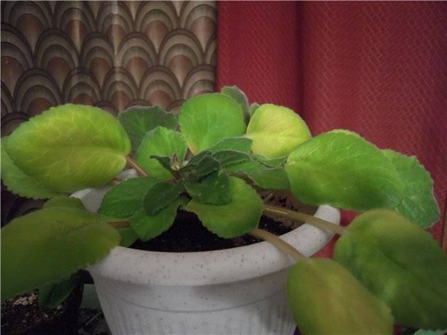 Что делать, если листья петунии стали бледно-зелеными, и почему это может произойти?