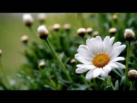 Цветы, похожие на ромашки - особенности растений
